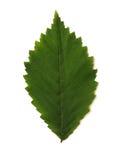Enig groen verlof Royalty-vrije Stock Afbeelding