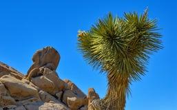 Enig Joshua Tree Among de Dorre Keien en het Woestijnzand Stock Afbeeldingen