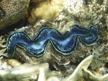 Enig reuzetweekleppig schelpdier op het koraalrif in het rode overzees Royalty-vrije Stock Afbeelding