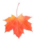 Enig rood esdoornblad Royalty-vrije Stock Foto