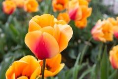 Enig, sluit omhoog, gouden gele tulp met oranje strook met een achtergrond van onscherpe tulpen, groene bladeren en stammen Stock Afbeelding