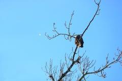 Enig Veer en Eagle Preening stock foto