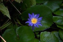 Enig Water lilly in bloei royalty-vrije stock afbeelding