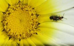 Eniga färger av beetleton arkivbilder