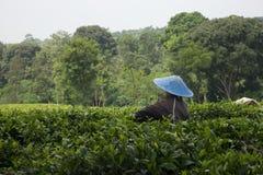 Enige arbeider bij de theeaanplanting stock fotografie