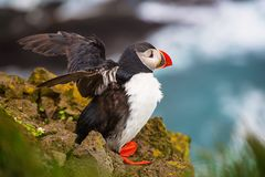 Enige Atlantische papegaaiduiker royalty-vrije stock afbeeldingen