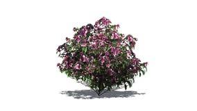 Enige Azaleastruik met roze bloesems vector illustratie