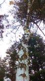 Enige berkboom Stock Foto