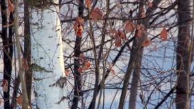 Enige berkboom Boomstam van berkboom Droog bladeren op berktakken stock video