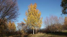Enige berkboom in een park stock videobeelden