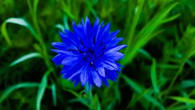 Enige blauwe bloem Stock Foto's