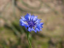 Enige blauwe bloem Stock Afbeeldingen