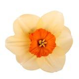 Enige bloem van een gele narciscultivar Stock Foto