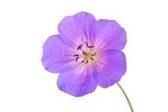 Enige bloem van een geraniumcultivar royalty-vrije stock afbeeldingen