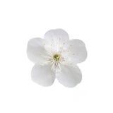Enige bloem van kers Geïsoleerdj op witte achtergrond Royalty-vrije Stock Foto's