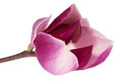 Enige bloem van roze die magnolia op witte achtergrond, dichte omhooggaand wordt ge?soleerd stock foto