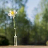 Enige bloemnarcissen in glas kleine vaas op de achtergrond van het aardonduidelijke beeld Stock Fotografie