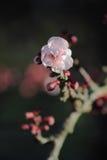 Enige Bloesem - roze en Bourgondië Royalty-vrije Stock Fotografie