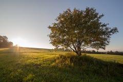 Enige boom in de FIboom op het gebied op zonsopgang Royalty-vrije Stock Afbeeldingen