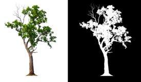 Enige boom met het knippen van weg stock foto's