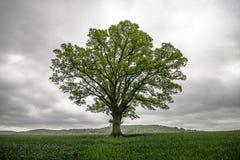 Enige boom op gebied stock foto