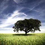 Enige boom op het gebied stock fotografie