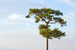 Enige boom op het gebied, mooi natuurlijk de zomerlandschap, pi Stock Fotografie