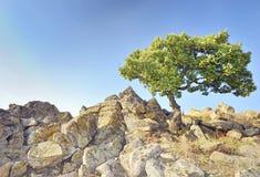 Enige boom op rotsen Stock Foto's