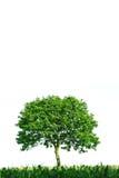 Enige boom op witte achtergrond Stock Fotografie