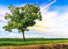Enige boom in weide Stock Afbeelding