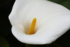 Enige Calla Lily Flower On Dark Background Royalty-vrije Stock Afbeeldingen