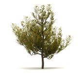 Enige Cornus Mas Tree vector illustratie