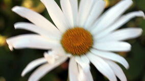 Enige Daisy Flower Moving In The-Wind stock footage