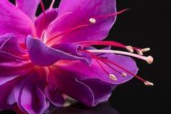 Enige die bloem van fuchsia op zwarte achtergrond, dichte omhooggaand wordt geïsoleerd Royalty-vrije Stock Foto's