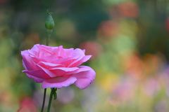 Enige die roze nam in een tuin toe door een mooie bokeh wordt geïsoleerd royalty-vrije stock foto's