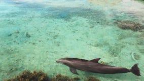 Enige dolfijn die over koraalrif zwemmen stock videobeelden