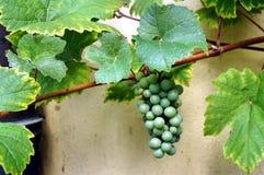 Enige druif Royalty-vrije Stock Foto
