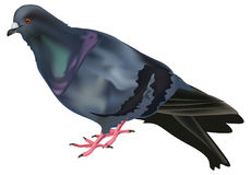 Enige duif die op wit wordt geïsoleerde Royalty-vrije Stock Afbeeldingen