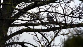 Enige duif op boomtakken op een regenachtige dag stock videobeelden