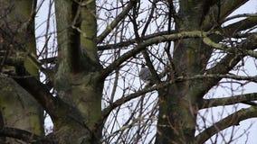 Enige duif op boomtakken op een regenachtige dag stock video