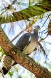 Enige duif op de tak van de spar Stock Fotografie