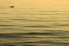 Enige eend op water Royalty-vrije Stock Afbeeldingen