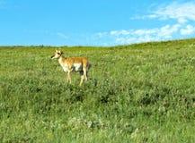Enige eenzame pronghorn op helling stock foto