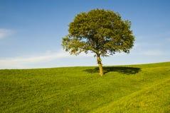 Enige eiken boom op gebied stock afbeelding