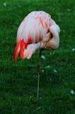 Enige flamingo Royalty-vrije Stock Afbeeldingen