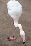 Enige flamingo op één been Stock Fotografie