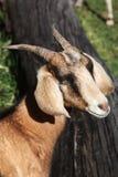 Enige geit royalty-vrije stock afbeelding