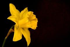 Enige Gele narcis Stock Foto's