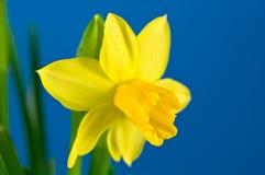 Enige Gele narcis Stock Afbeeldingen