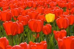 Enige gele tulp onder gebied van rode degenen Stock Fotografie